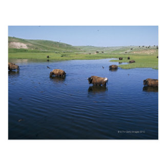 Bison In The Water With Numerous Cliff Swallows Postcard