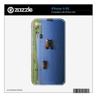 Bison In The Water With Numerous Cliff Swallows Skin For iPhone 4