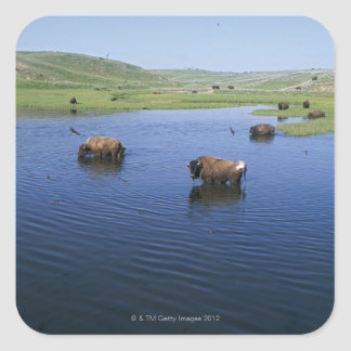 Bison In The Water With Numerous Cliff Swallows Square Sticker