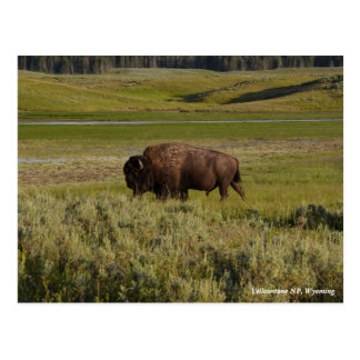 Bison in Yellowstone National Park Postcard