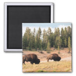 Bison in Yellowstone National Park , Wyoming Magnets