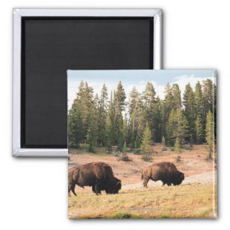Bison in Yellowstone National Park , Wyoming Magnet