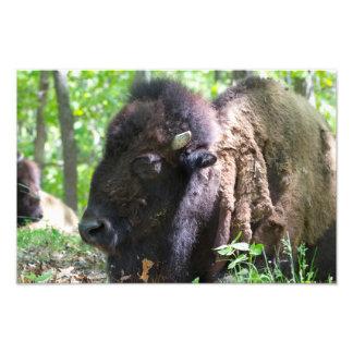 Bison, Lone Elk Park, St. Louis Photo Print