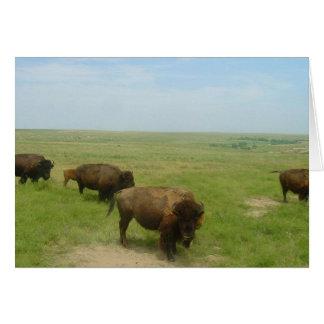 Bison near Scott City, Kansas Card