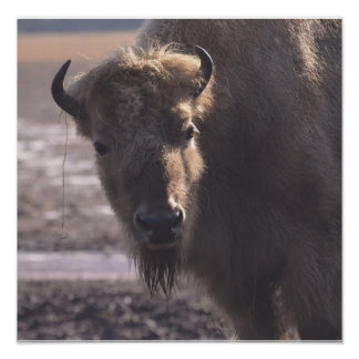 Bison on a Prairie Poster