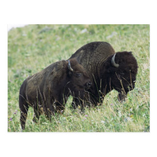 Bison pair grazing in Montana Post Cards
