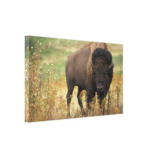 Bison photo canvas print