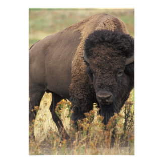 Bison photo personalized announcement