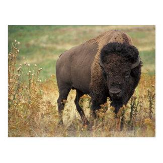 Bison photo postcard