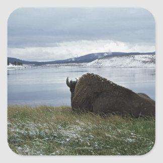 Bison Resting By Yellowstone River With Snow On Square Sticker