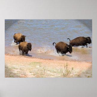 Bison Running Poster
