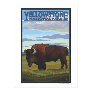 Bison Scene - Yellowstone National Park Post Card