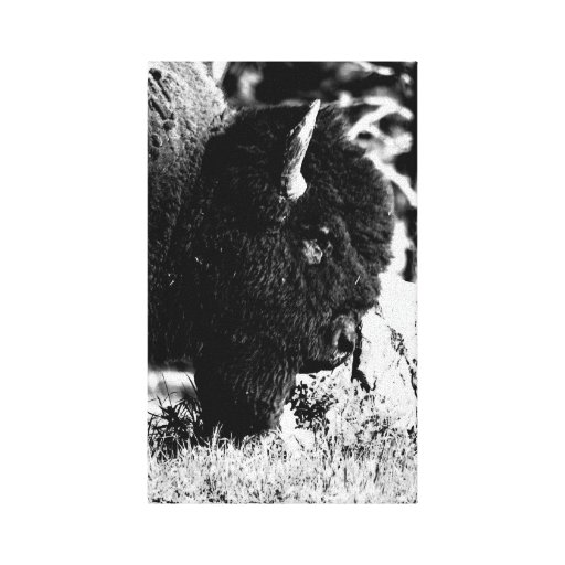 Bison Upclose in b/w Stretched Canvas Print