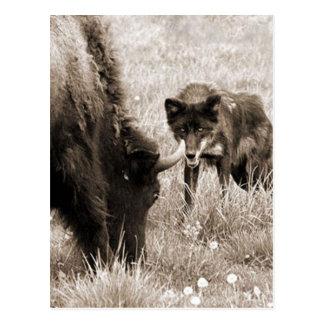 Bisonte agresivo de la caza del lobo postal