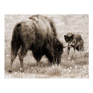 Bisonte agresivo de la caza del lobo postales