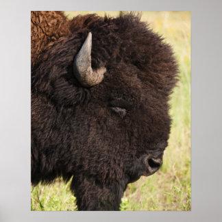 Bisonte americano, Dakota del Sur Impresiones