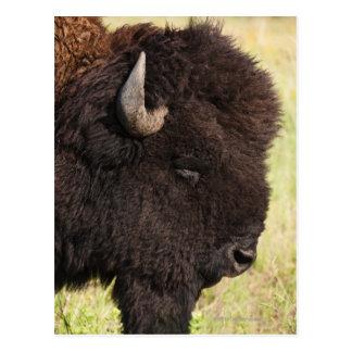 Bisonte americano, Dakota del Sur Postales