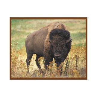 Bisonte americano en la gama impresión en lienzo