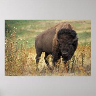 Bisonte americano impresiones