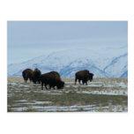 Bisonte americano postales