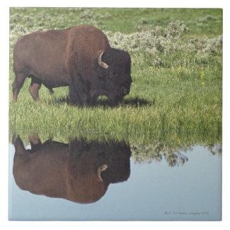 Bisonte (bisonte del bisonte) en prado herboso azulejo cuadrado grande
