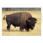bisonte, bisonte del bisonte, toro en el nacional  felicitación