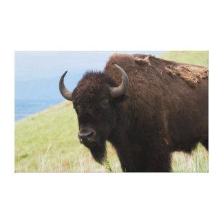 Bisonte Bull 3 Impresiones De Lienzo