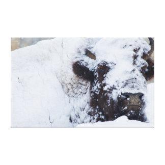 Bisonte Bull, abrigo de invierno Impresiones En Lienzo Estiradas