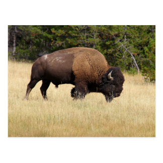 Bisonte Bull en el parque nacional de Yellowstone Postal