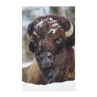 Bisonte Bull, invierno 3 Impresión En Lienzo Estirada