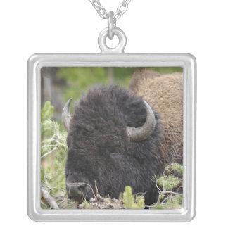 Bisonte de Bull que descansa en el bosque, Yellows Joyeria