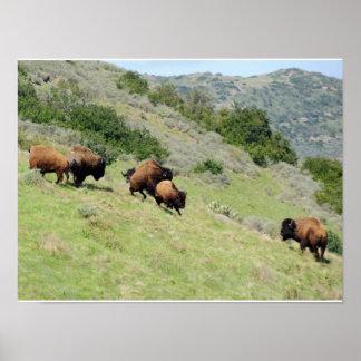 Bisonte de Catalina Póster