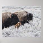 Bisonte de la vaca y del becerro, Yellowstone Póster