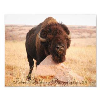 Bisonte de Oklahoma, fotografía 2011 de Rebecca Cojinete