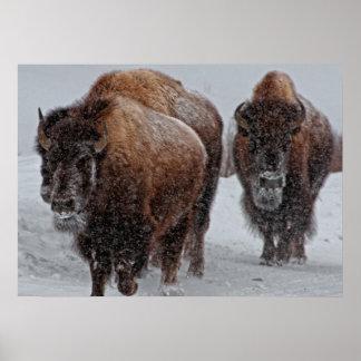 Bisonte de Yellowstone Póster
