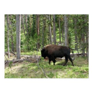 Bisonte de Yellowstone Tarjetas Postales