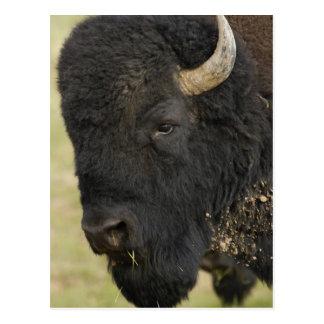 Bisonte del bisonte del búfalo del bisonte ameri tarjeta postal
