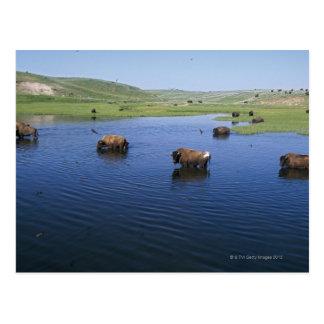Bisonte en el agua con los tragos de acantilado tarjeta postal