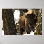 Bisonte en el parque nacional de Yellowstone del v Impresiones