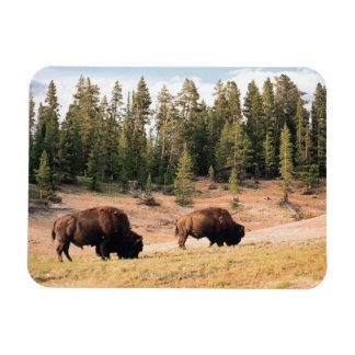 Bisonte en el parque nacional de Yellowstone, Wyom Imanes Rectangulares