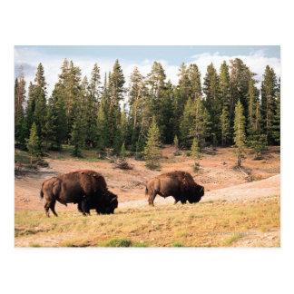 Bisonte en el parque nacional de Yellowstone, Wyom Tarjetas Postales