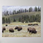 Bisonte en el valle de Hayden de Yellowstone Poster