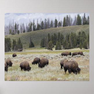 Bisonte en el valle de Hayden de Yellowstone Póster