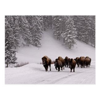 Bisonte en invierno postales