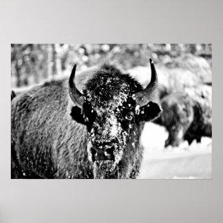 Bisonte escarchado de Yellowstone Poster