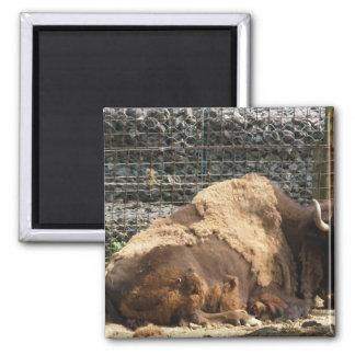 Bisonte grande de Brown en descanso en el parque z Imán Para Frigorifico