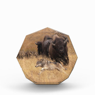 Bisonte, hembra, y lobo de Bull