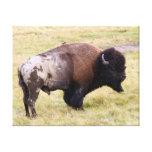 Bisonte polvoriento Bull en el parque de Yellowsto Impresiones En Lienzo Estiradas
