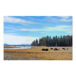 Bisonte por el río Yellowstone Fotografias