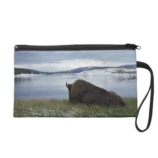 Bisonte que descansa por el río Yellowstone con ni